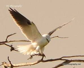 Black-Shouldered_Kite_0084