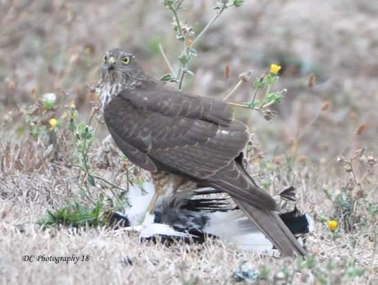 SparrowHawk_0035