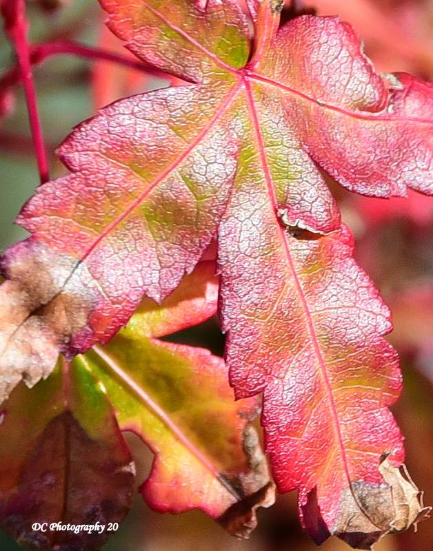 Japanese-Maple_2190a
