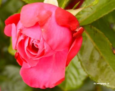 Red-Rose_5614